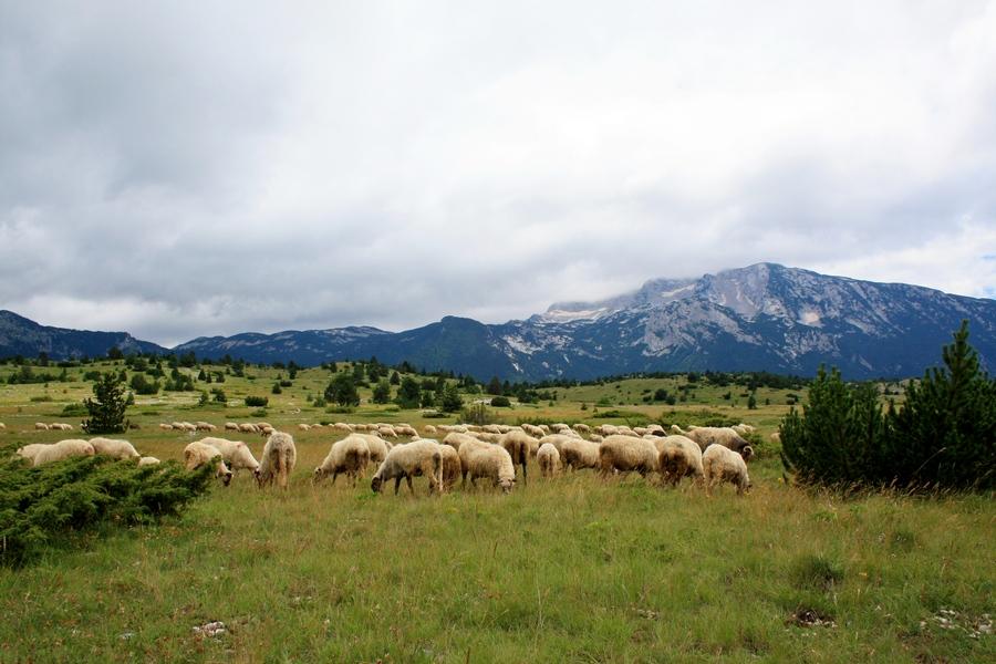 01102016-stado-ovce-blidinje1