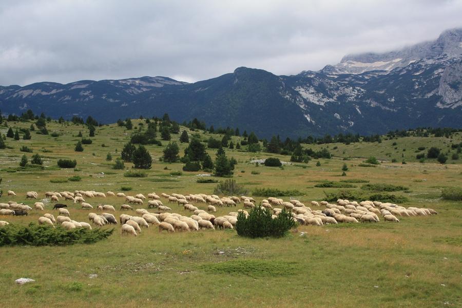 01102016-stado-ovce-blidinje4