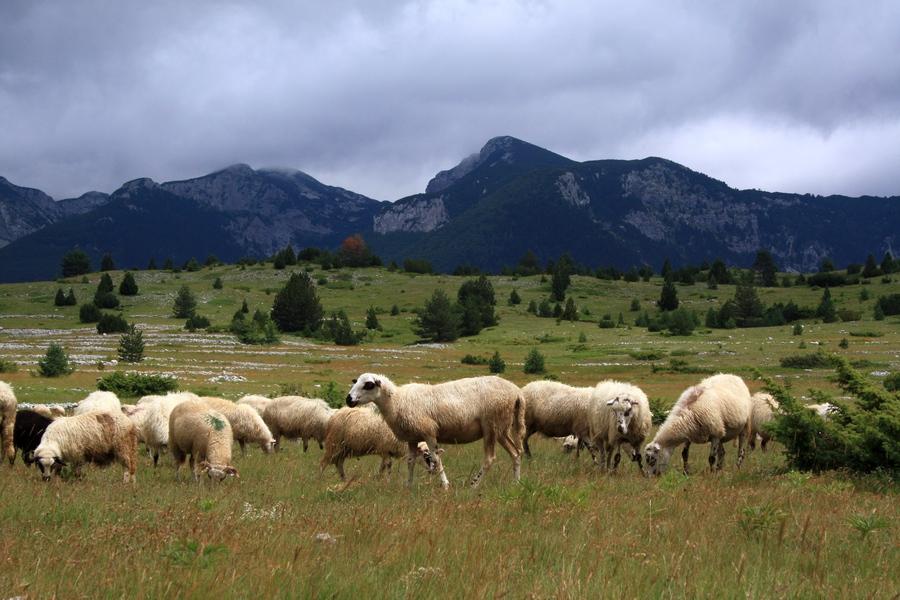 01102016-stado-ovce-blidinje5