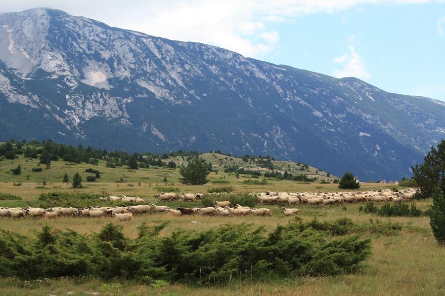01102016-stado-ovce-blidinje7