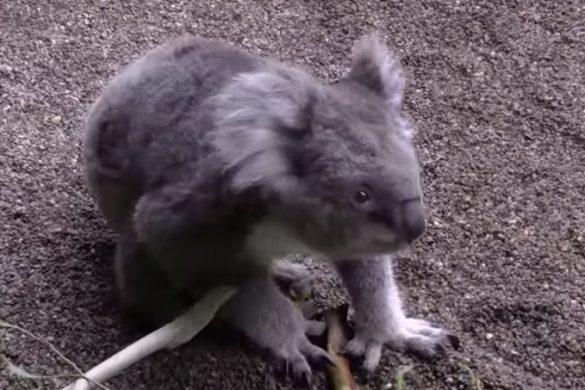 18102016-koala