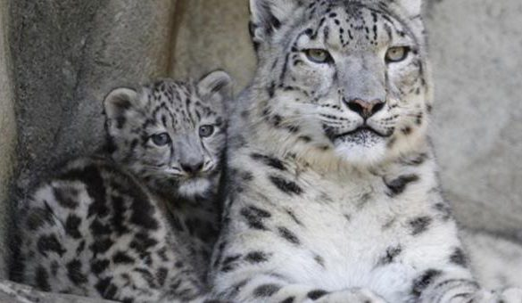 25102016-leopard