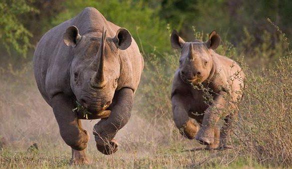 02112016-nosorog