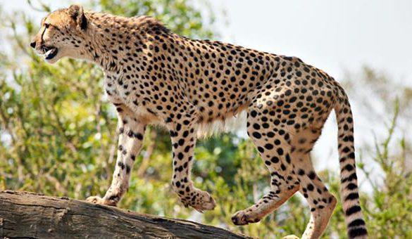 04122016-gepard