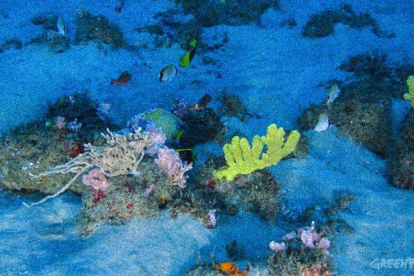 Recifes da foz do rio Amazonas.  Crédito obrigatório: Divulgação/Greenpeace