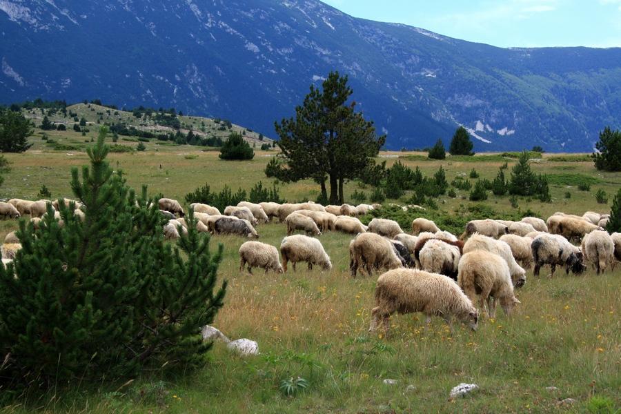 01102016-stado-ovce-blidinje3
