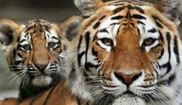 21072017-tigr