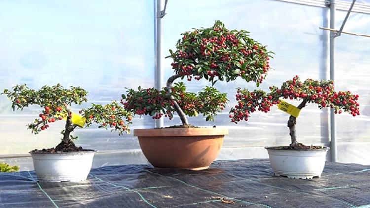 02022018-bonsai
