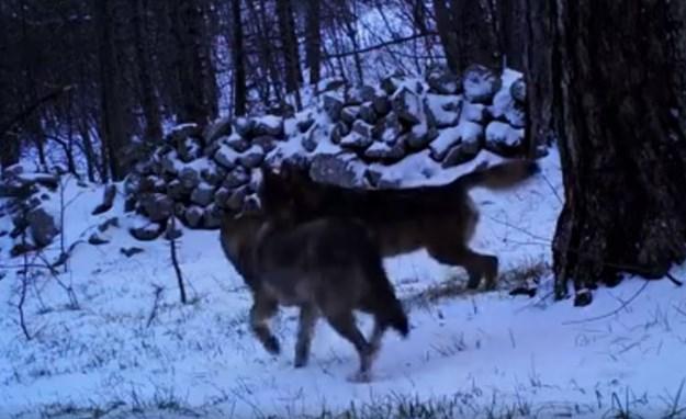 vukovivel
