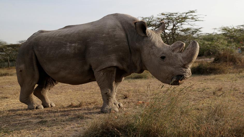 20032018-nosorog