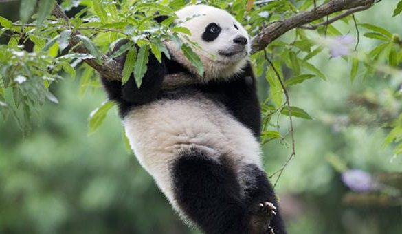 03042018-panda