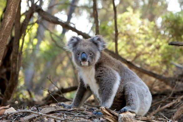 09092018-koala